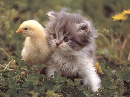 [Image: Kitten-Duck.jpg]