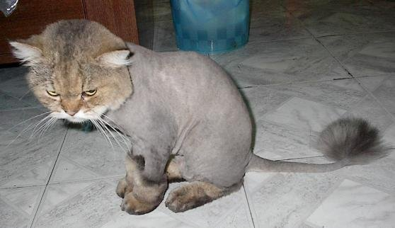 Bad Haircut Day For This Cat