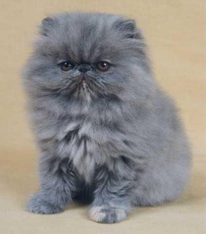 Toy Persian Cat