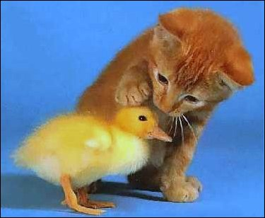 Kitten petting a baby duck