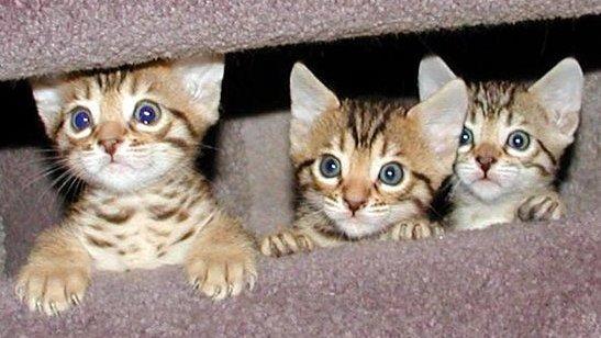 Las razas de gatos mas lindos [Megapost]